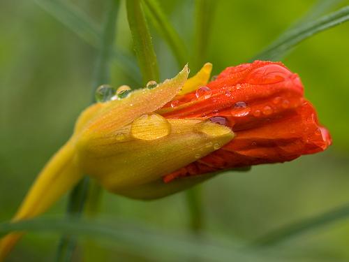 Vẻ đẹp quyến rũ - hoa sen cạn
