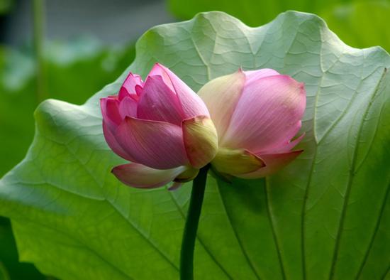 Loài sen quý hiếm của Việt Nam Tịnh Đế Liên