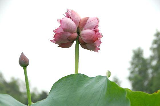 sen-tinh-de-viet-nam-1-hoasenvang.com.vn.jpg