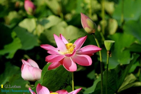 Dong sen hong cam phuoc tay khanh hoa 11